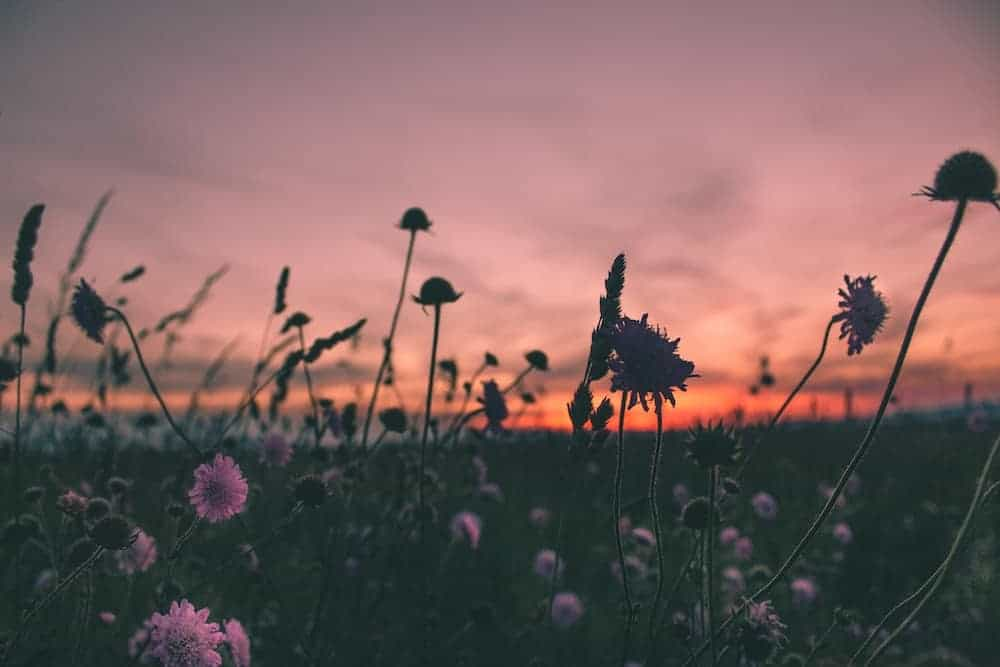 A flowery field at sunset.