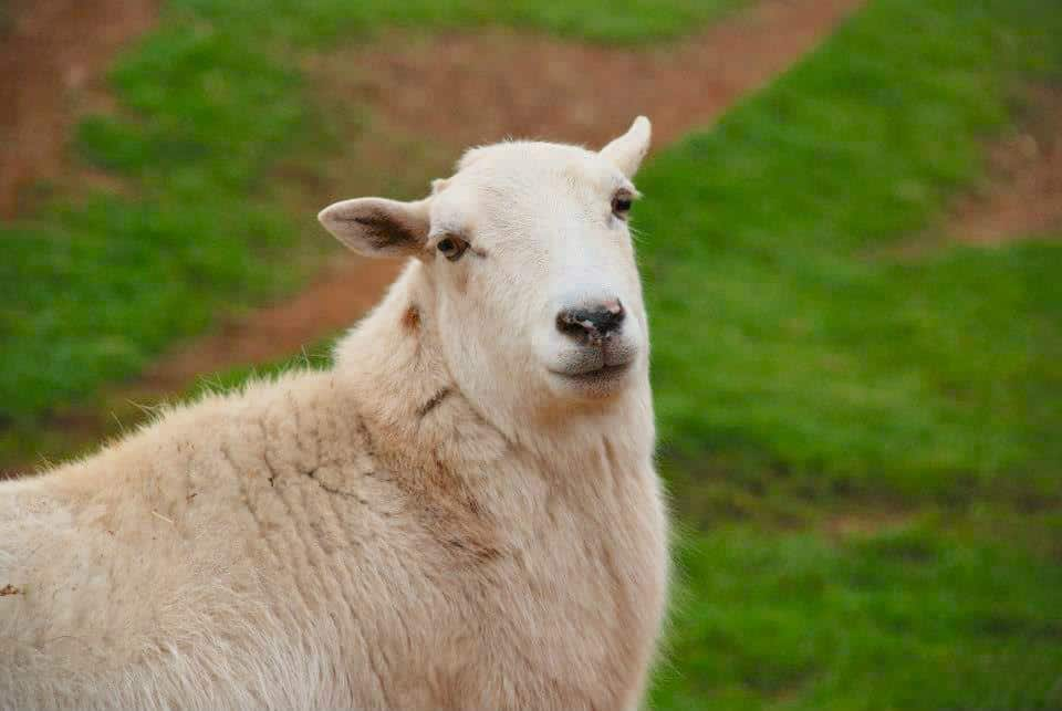 A white sheep outside looks at the camera.