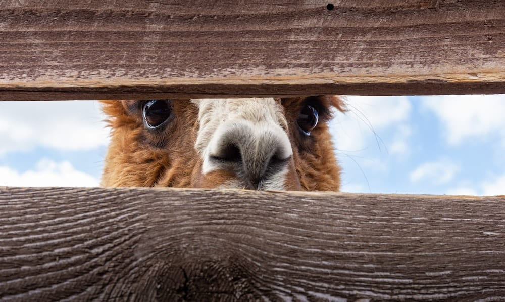 A brown alpaca peers between fence slats.