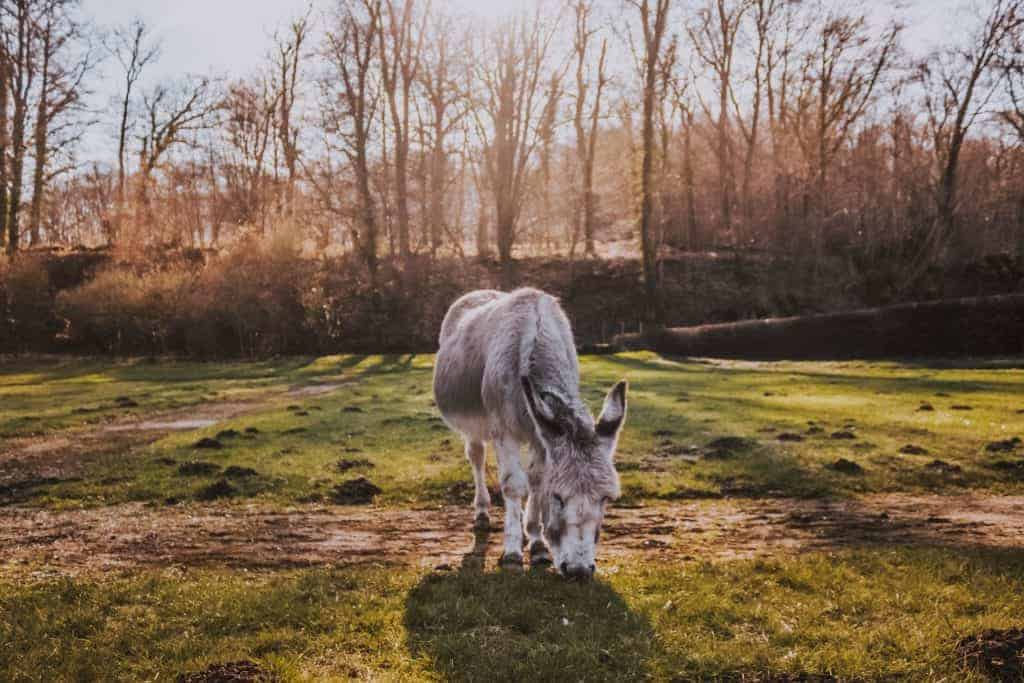 A donkey grazing in a grassy field.