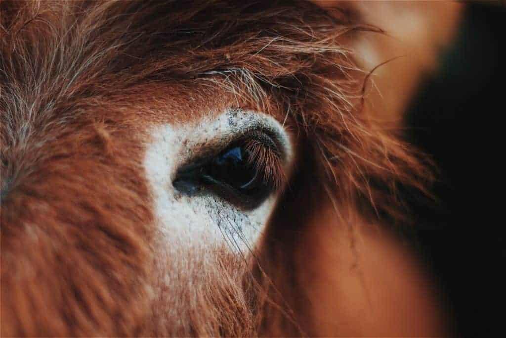 Close up of a donkey's eye.