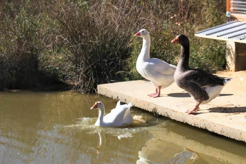 Two geese stand on platform while a third swims in the png in front of them.