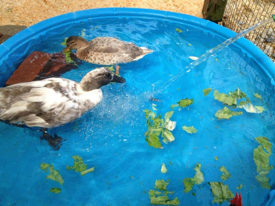 Two ducks in a small pool with lettuce pieces floating in the water.