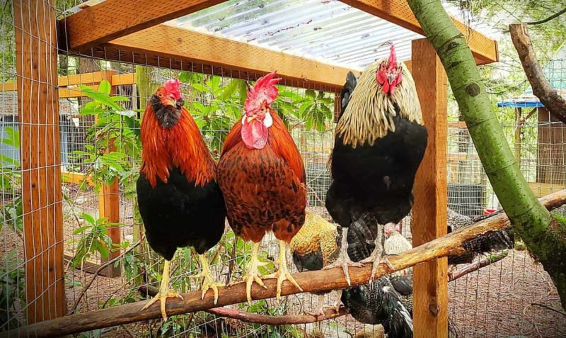 Three roosters perching together on a branch outdoors.