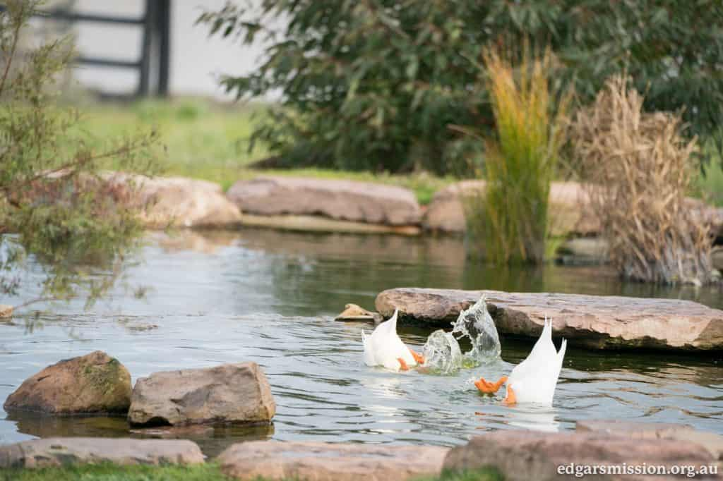 Two ducks with their heads underwater in an outdoor pond.