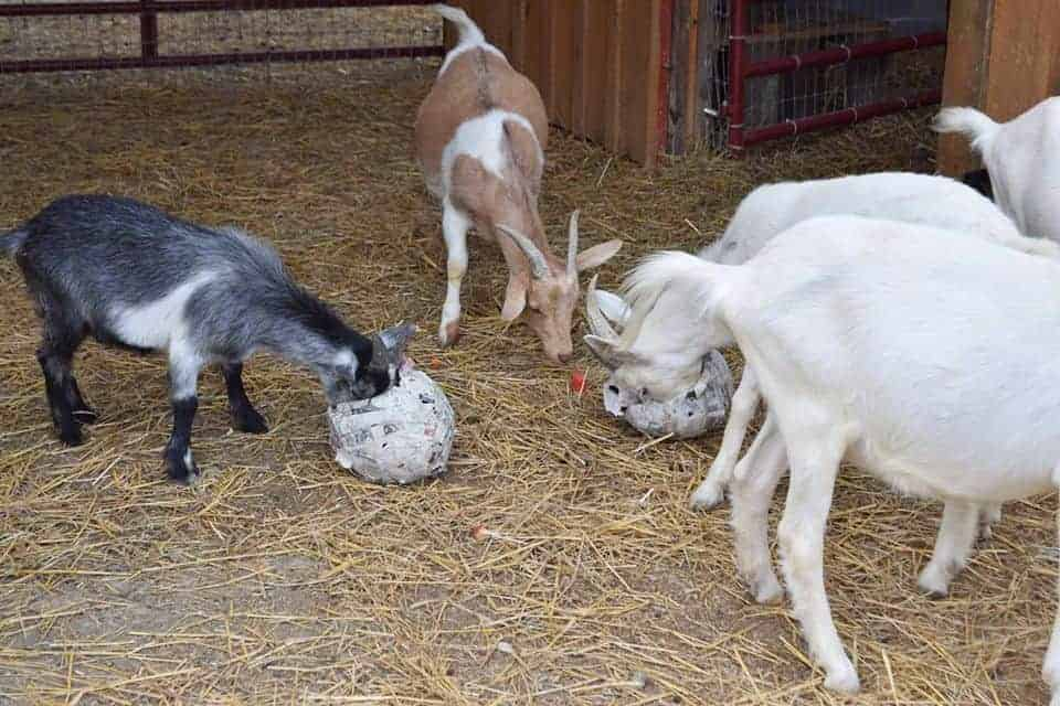 Five goats eating treats out of paper mache spheres.