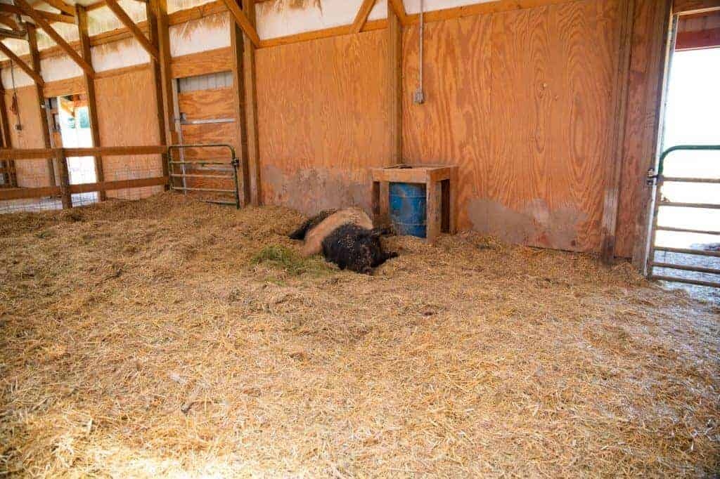 A pig is sleeping far away from the photographer