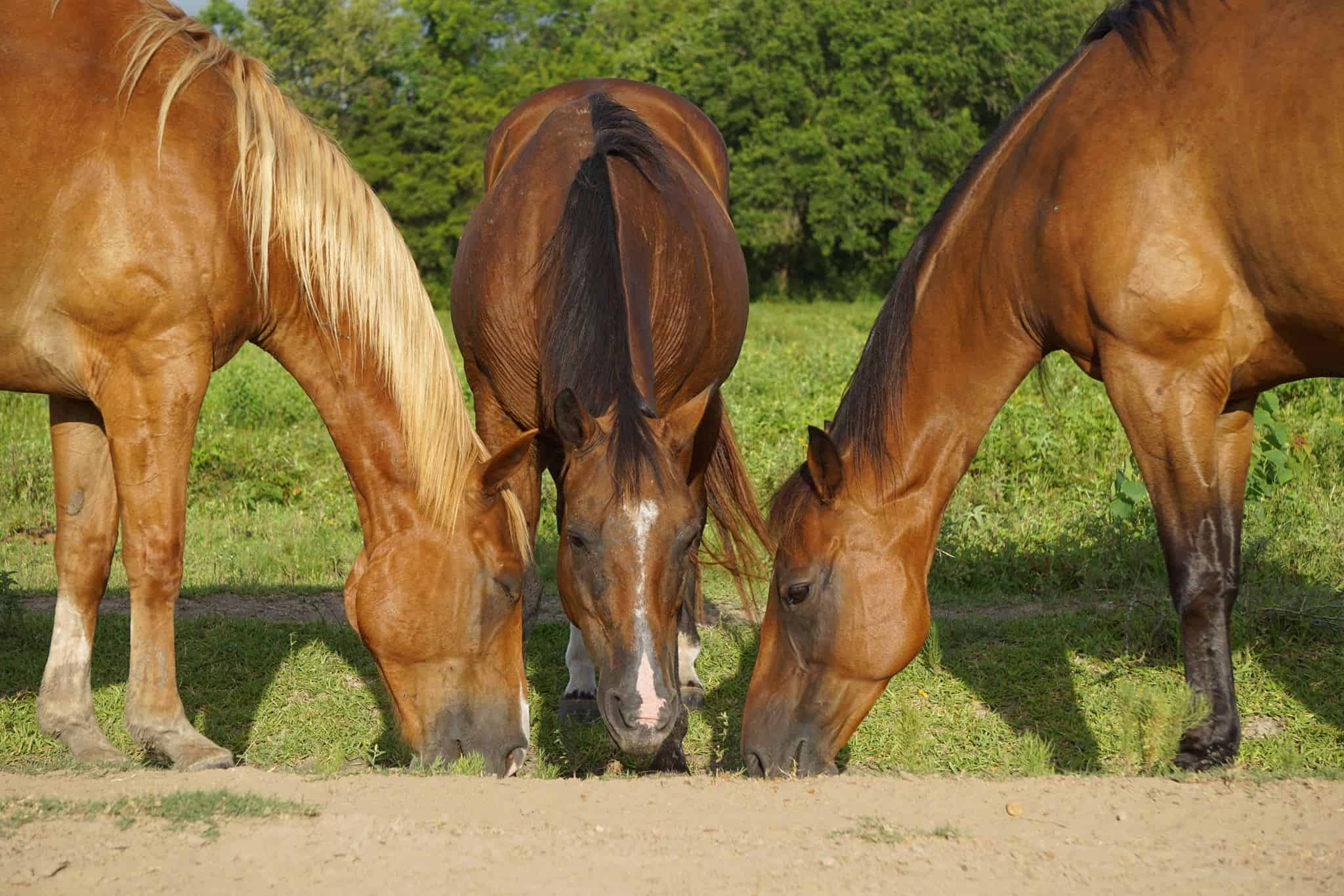 Three horses eat grass outside together.