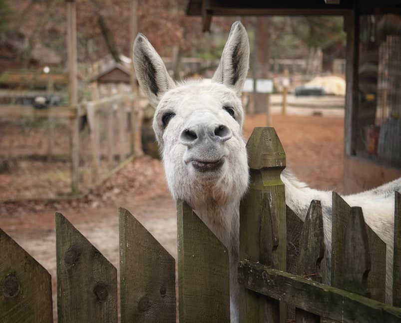 A donkey sticks their head over a fence and curiously looks towards the camera