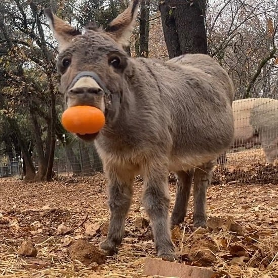 Miiature donkey holding small pumpkin in his mouth.