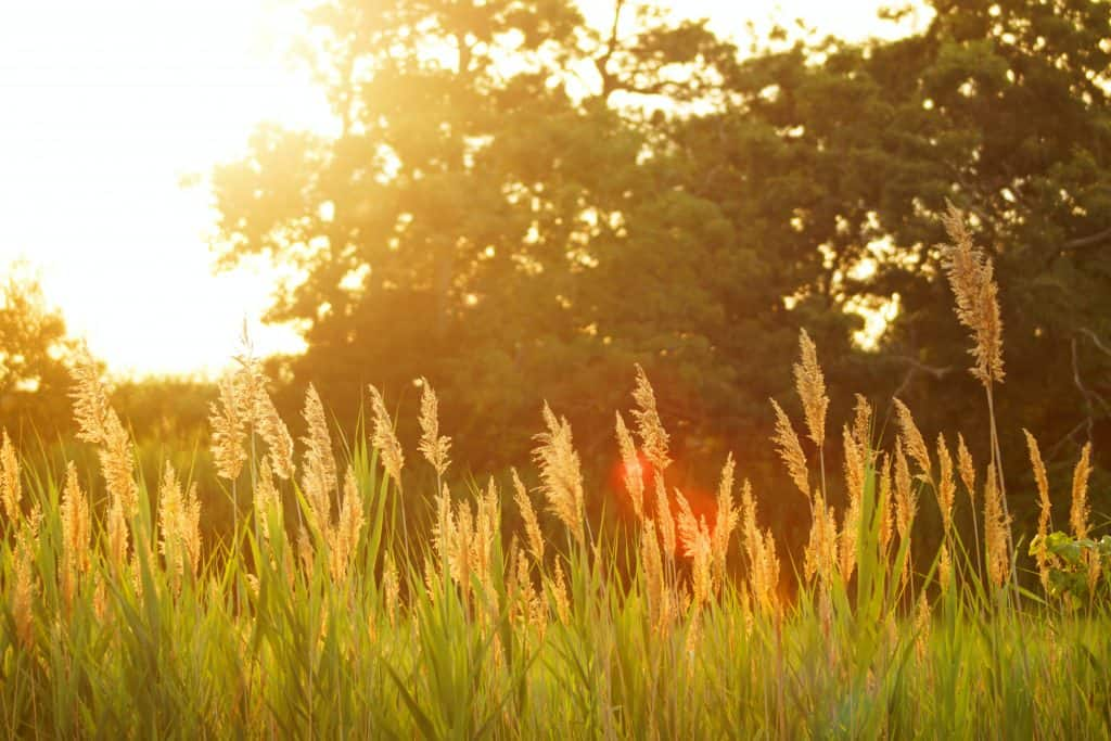 Tall grass in forefront with trees behind and sunlight overexposing the image.