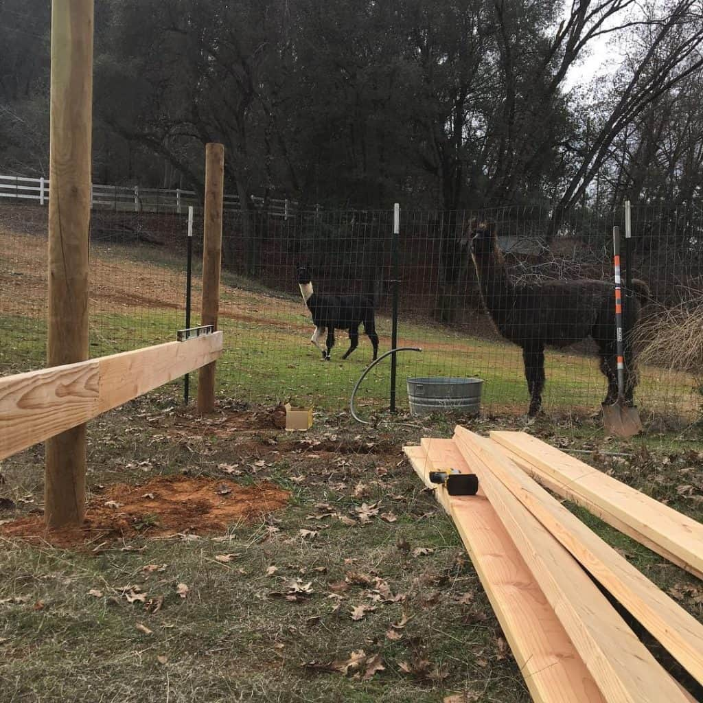 Llamas watch construction of a new fence