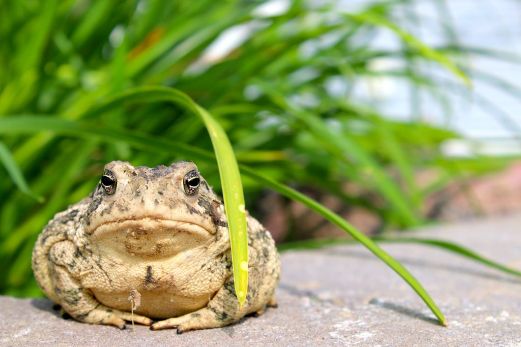 A very close-up photo of a toad looking directly at the camera. They are sitting on cement and positioned to the left side of the photo. There is some blades of grass leaving over top of their head.