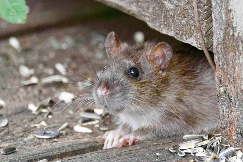 A very close-up photo of a grey rat who is peeking out from under a piece of wood. They are sitting on top of a piece of wood an eating sunflower seeds.
