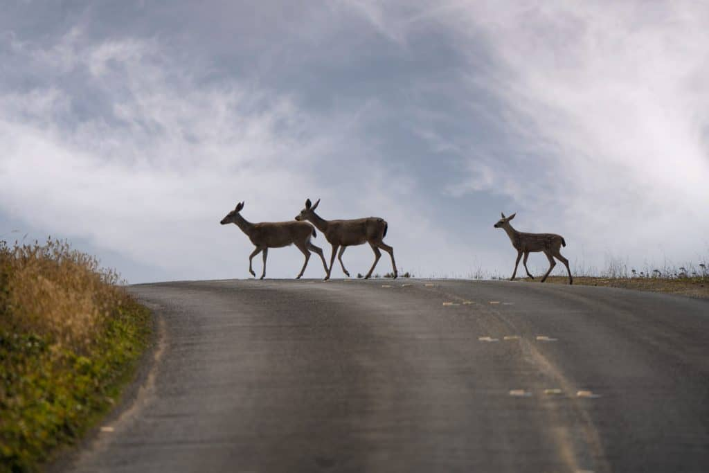 A photo of three deer crossing a road. Two does are leading the way and a younger deer is following behind them. The sky is light blue with some wispy clouds. There is some green groundcover on the left side of the road.